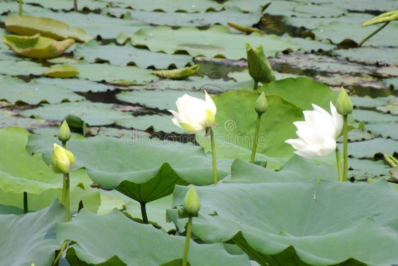 在水池的莲花 免版税库存照片