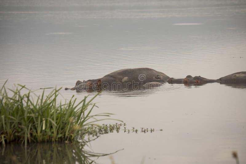 在水池, Ngorongoro火山口,坦桑尼亚的被淹没的河马 免版税库存图片