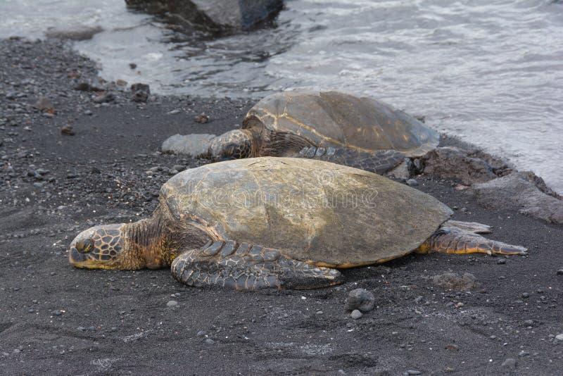 在黑沙子海滩,夏威夷的两seaturtles 库存照片