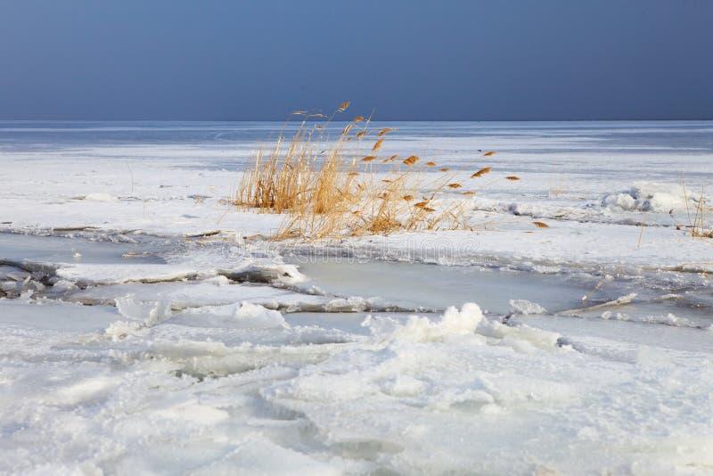 在冻河的藤茎 免版税图库摄影