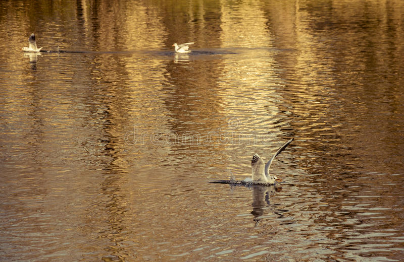 在水湖的海鸥着陆 库存照片