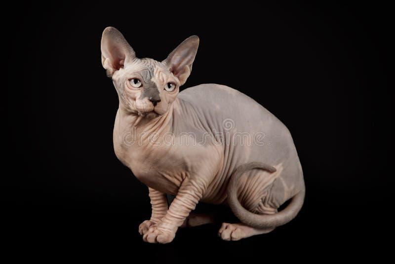 在黑演播室背景的Sphynx猫 库存照片
