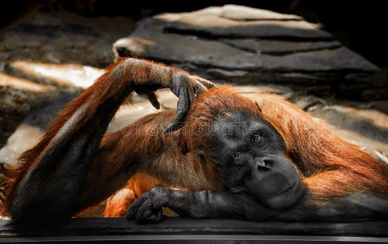 在玻璃后的哀伤的沉思的大姜猩猩在调查透镜的动物园 免版税库存照片