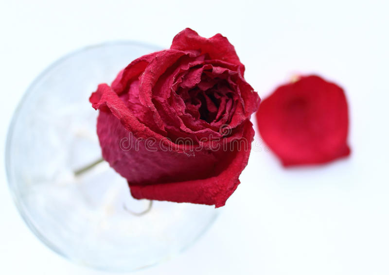 在玻璃和petai的干红色玫瑰 免版税库存照片