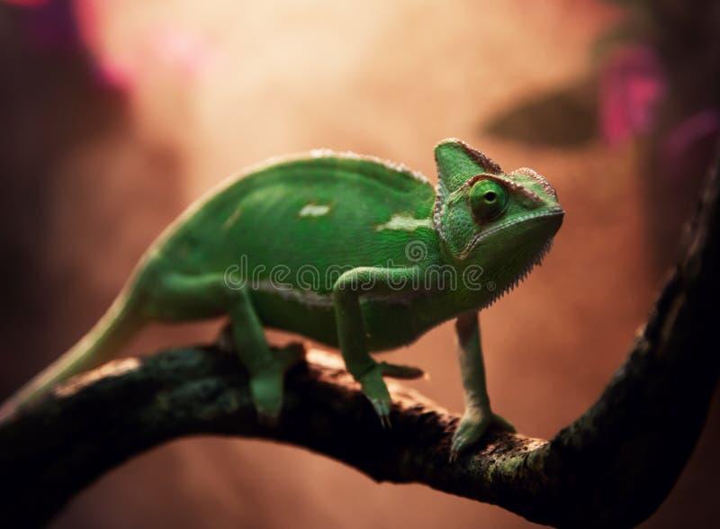 在玻璃容器的也门变色蜥蜴 库存图片