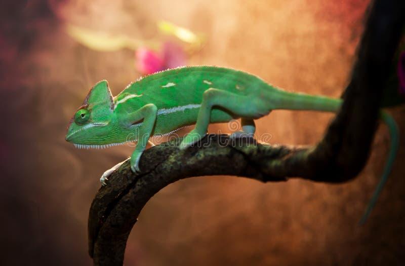 在玻璃容器的也门变色蜥蜴 免版税库存图片