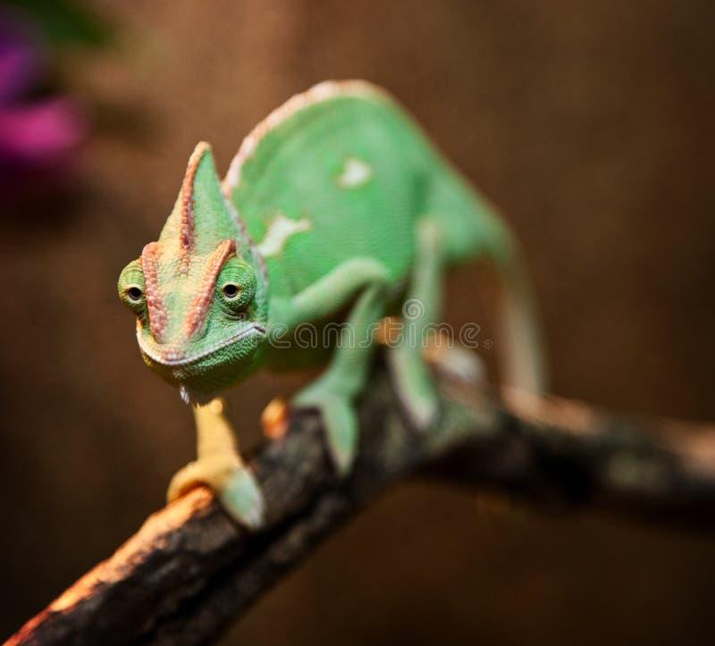 在玻璃容器的也门变色蜥蜴 免版税库存照片