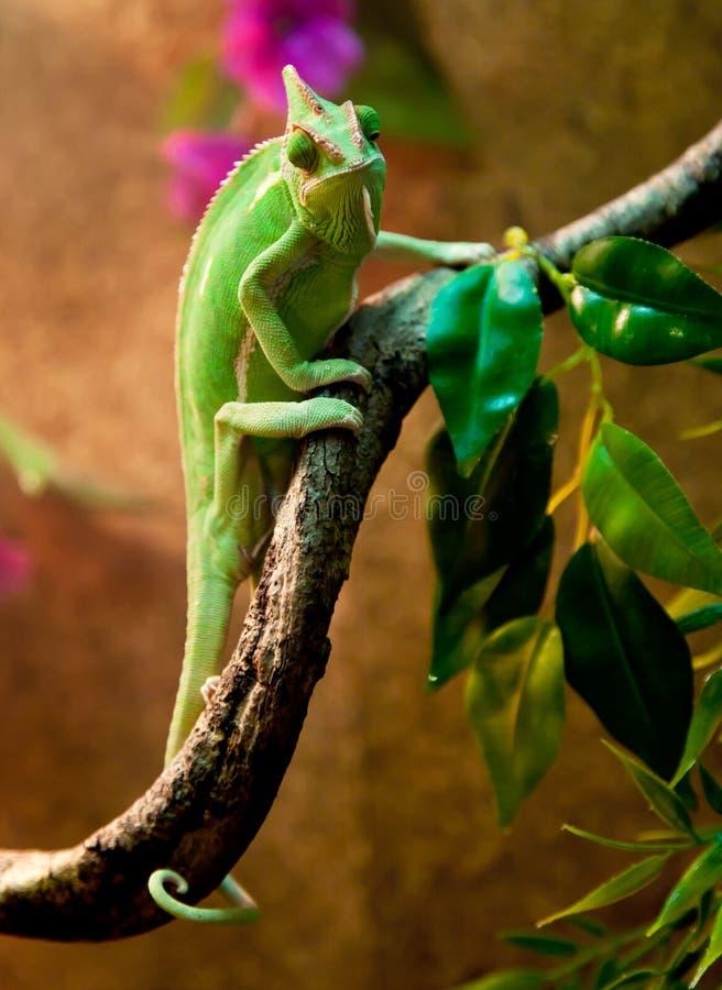 在玻璃容器的也门变色蜥蜴 库存照片