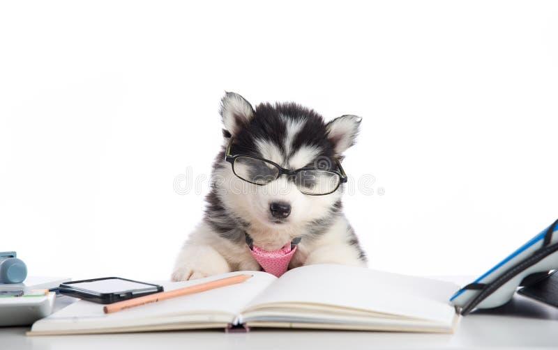 在玻璃工作的逗人喜爱的西伯利亚爱斯基摩人小狗 免版税库存照片
