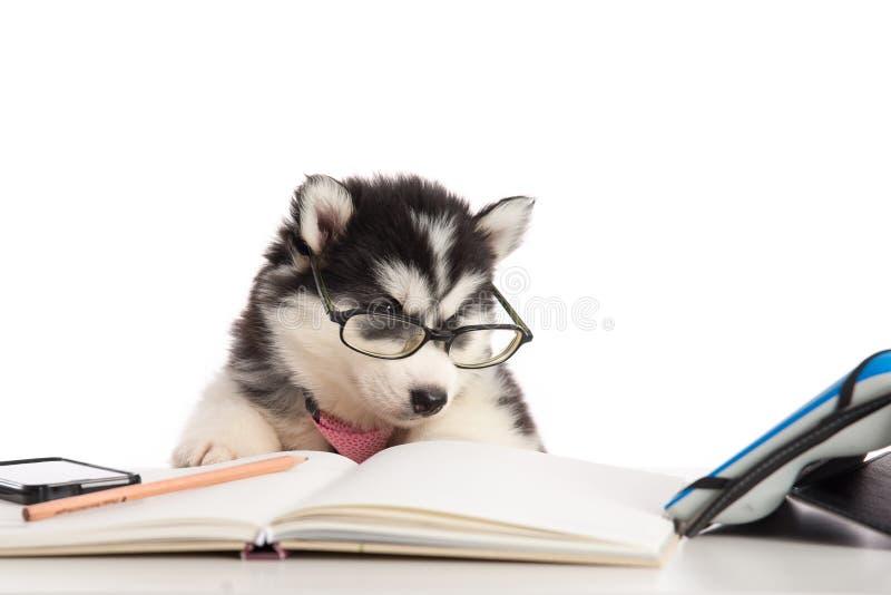 在玻璃工作的逗人喜爱的西伯利亚爱斯基摩人小狗 免版税图库摄影