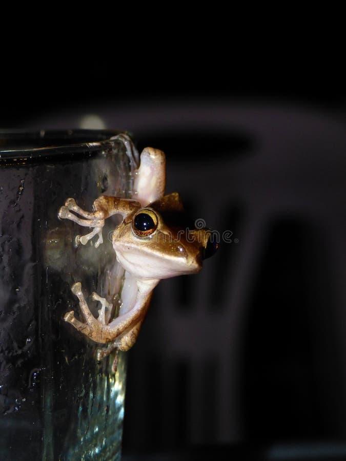 在玻璃的树青蛙 库存图片