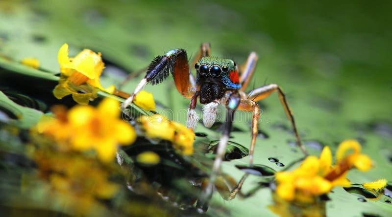 在玻璃的美丽的蜘蛛与黄色花,跳跃的蜘蛛在泰国 免版税库存图片