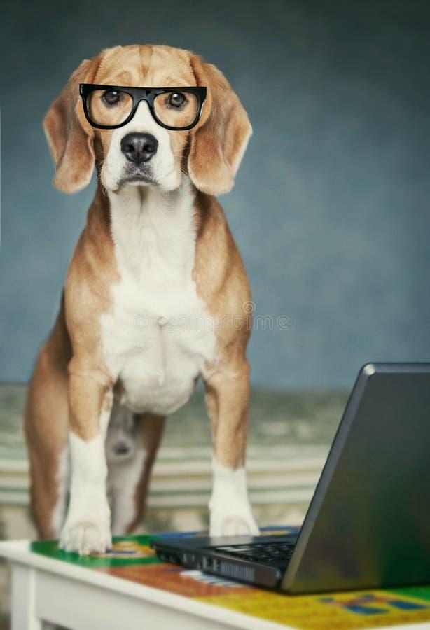 在玻璃的香的小猎犬临近膝上型计算机 图库摄影