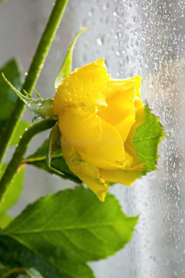 在玻璃窗附近的黄色玫瑰 库存照片