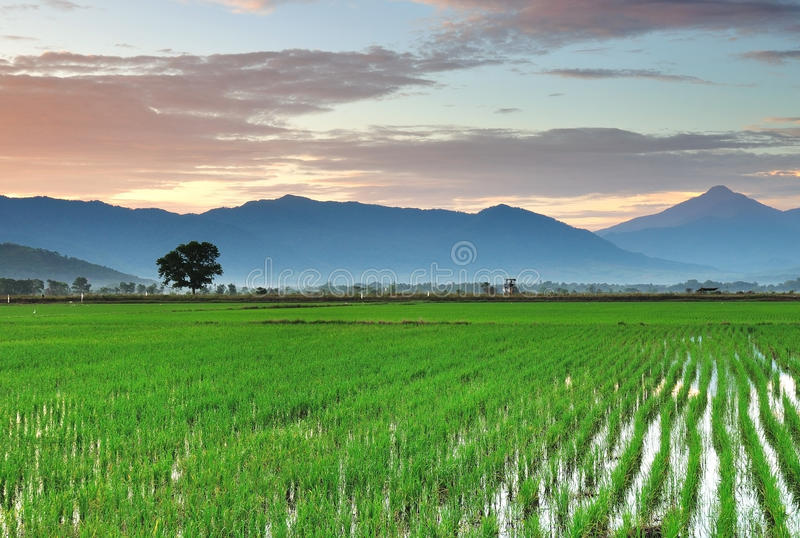 在稻田的日出 免版税库存照片
