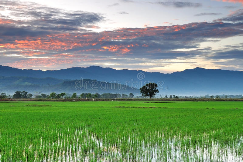 在稻田的日出 库存照片