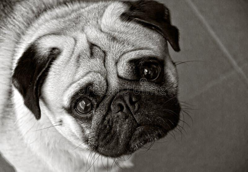 在黑白的哈巴狗狗 图库摄影