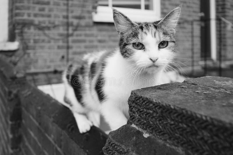 在黑白的机敏的农村猫 免版税库存照片