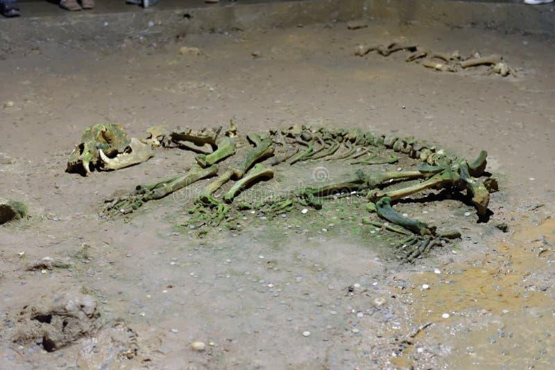 在洞的动物骨骼 免版税库存照片