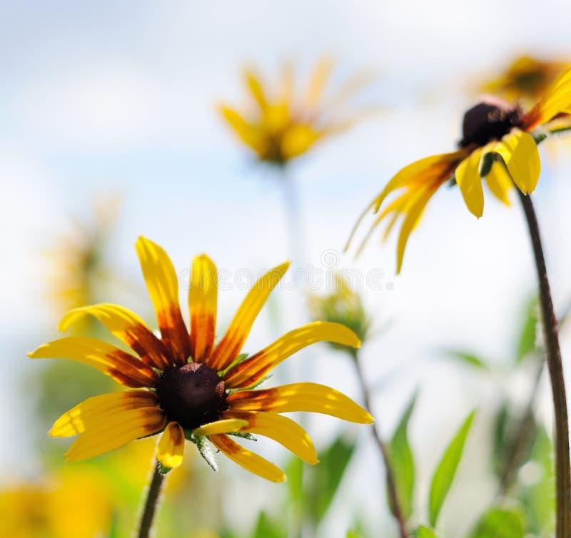 在轻的天空前面的黄金菊 免版税库存照片