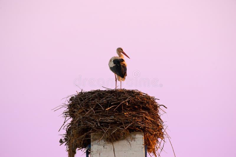 在他的巢的孤立鹳 免版税库存图片