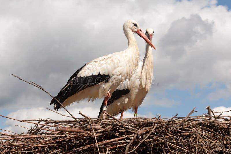 在他们的巢的鹳 免版税图库摄影