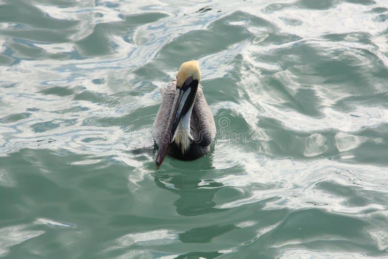 在水2的布朗鹈鹕 免版税库存照片