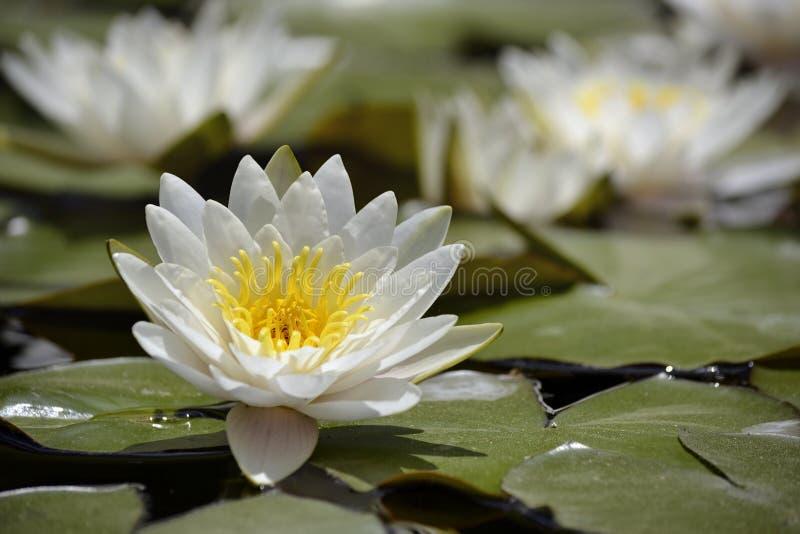 在水的开花的Lilly垫 免版税库存图片