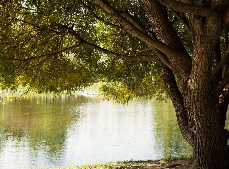 在水的杨柳 免版税图库摄影