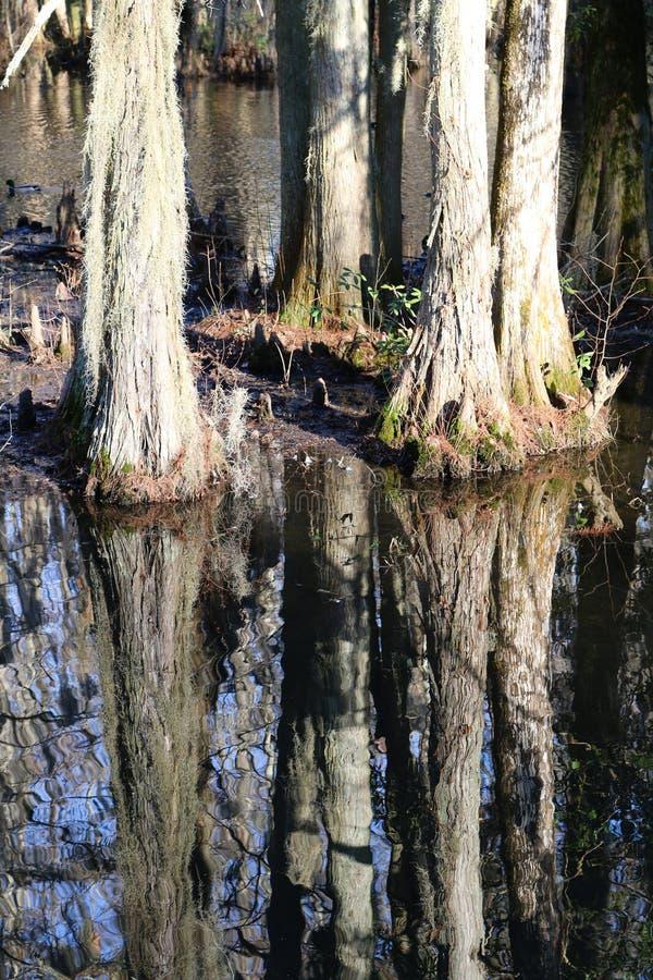 在黑水的柏树反射 库存照片