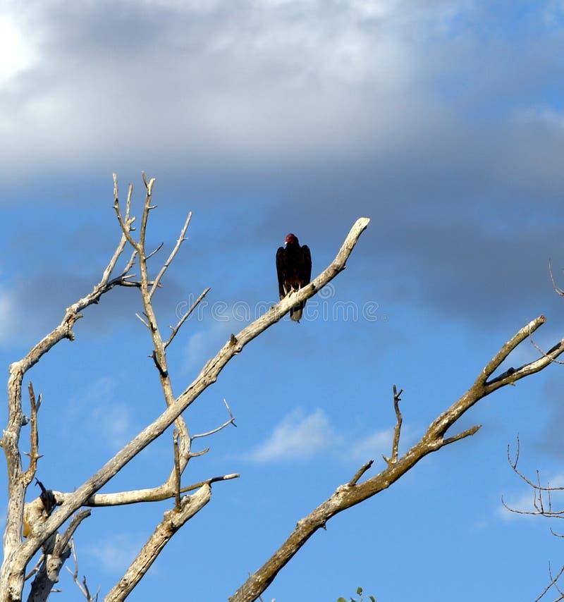 在死的树的火鸡兀鹰 库存照片