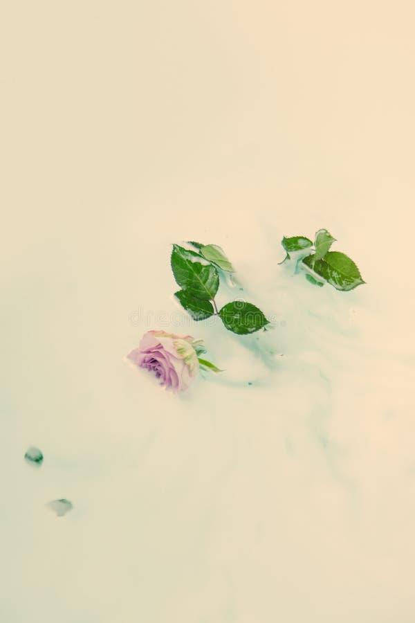 在浴的桃红色玫瑰 库存图片