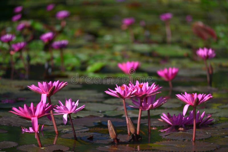 在水的桃红色莲花 免版税库存照片