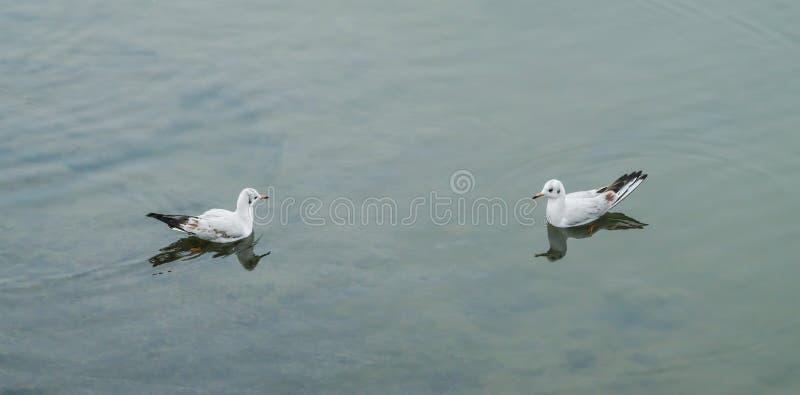 在水的海鸥 库存照片