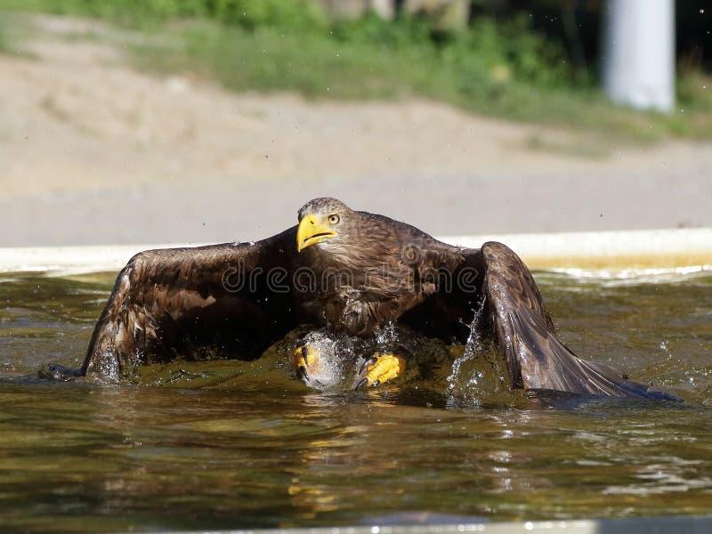 在水的海鹰着陆 免版税库存照片