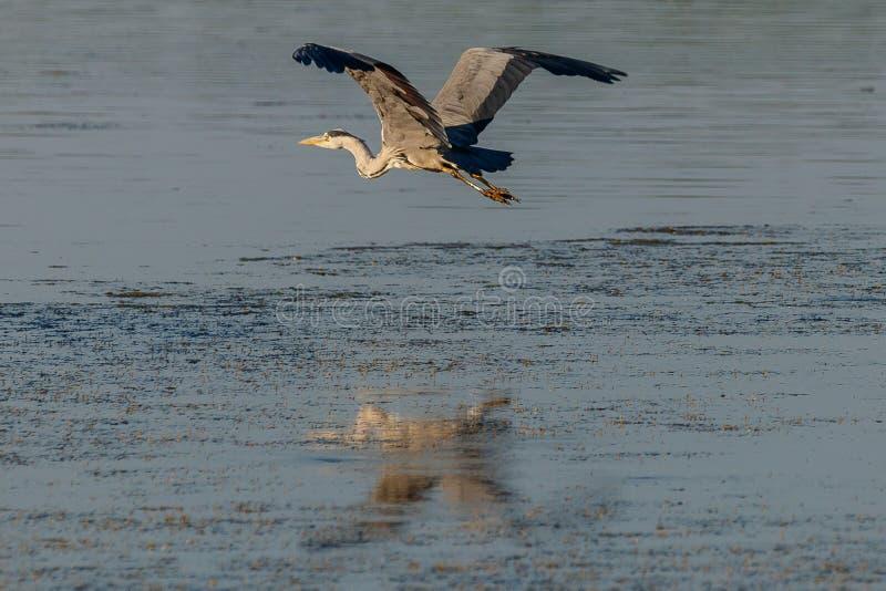 在水2的灰色苍鹭 图库摄影