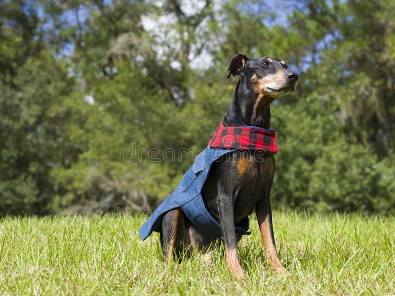 在他的秋天成套装备的逗人喜爱的德国短毛猎犬 库存图片