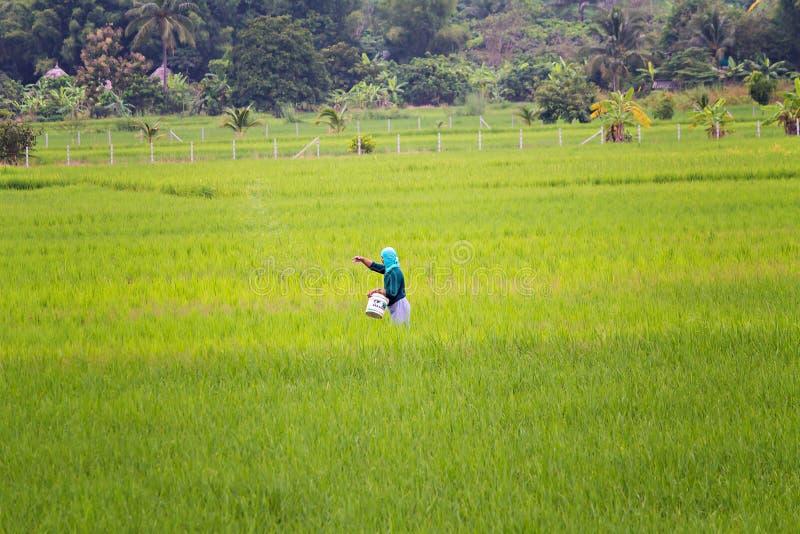 在他的米领域的一种未认出的泰国农夫播种肥料 库存图片