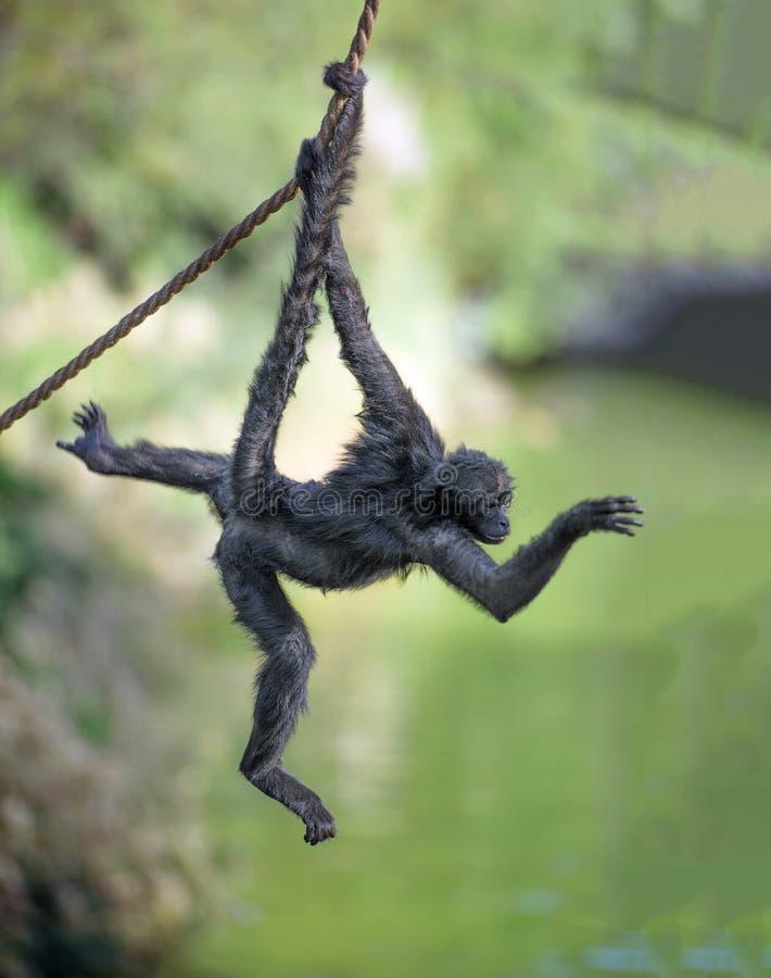 在绳索的蜘蛛猴 免版税图库摄影