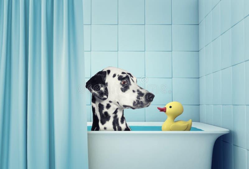 在浴的逗人喜爱的达尔马希亚狗 库存图片