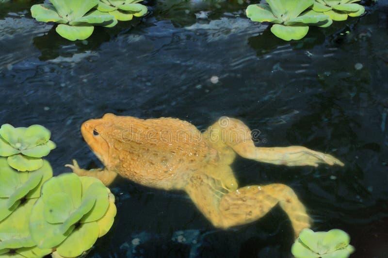 金黄的青蛙 游泳 在鱼池 照片拍摄时间: january 01st, 2016图片
