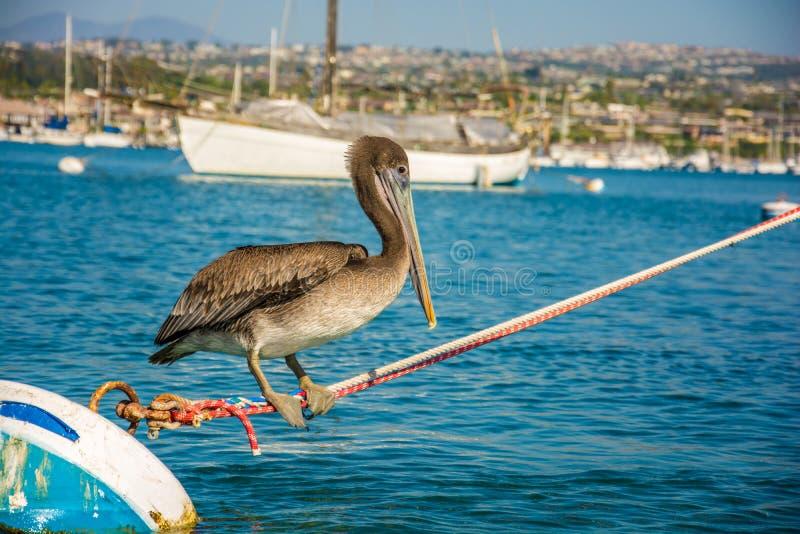 在绳索的鹈鹕 免版税图库摄影