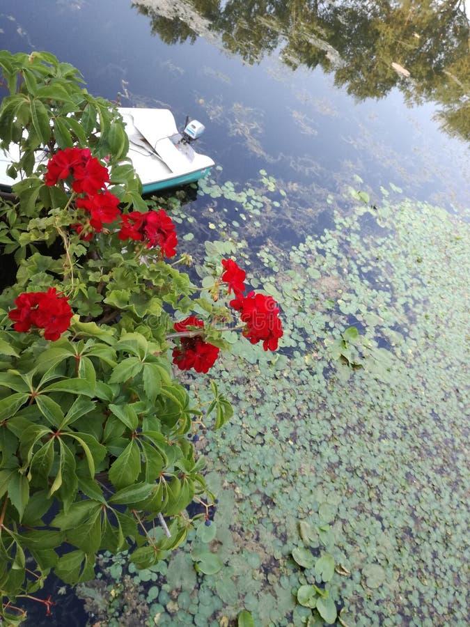 在水的绿叶 库存图片
