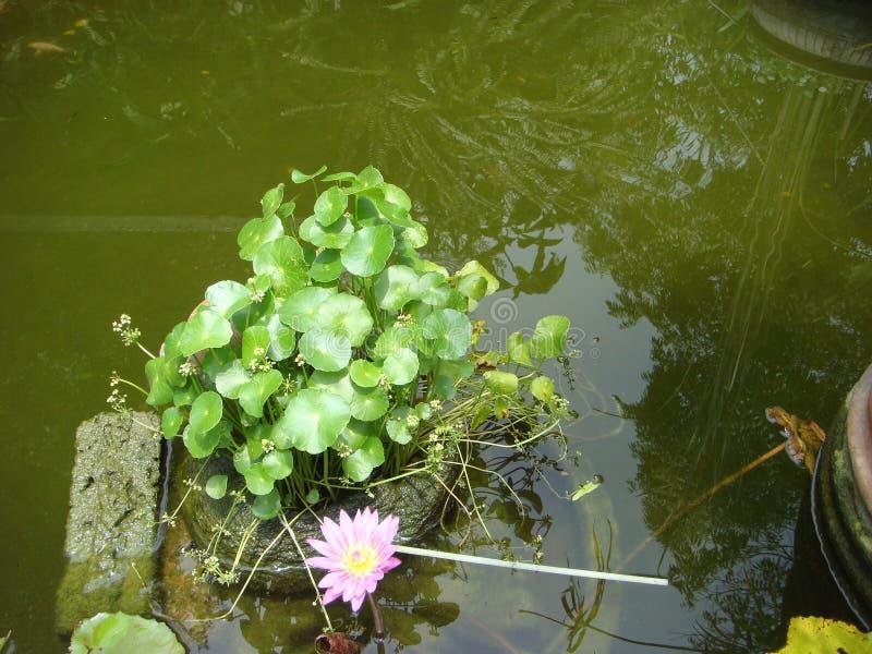 在水的绿色莲花叶子 库存照片
