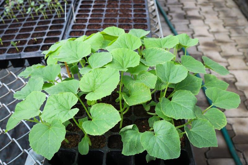在黑盘子的幼木瓜自温室 图库摄影