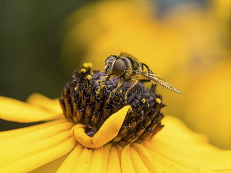 在黑眼睛的苏珊的蜂 免版税库存照片