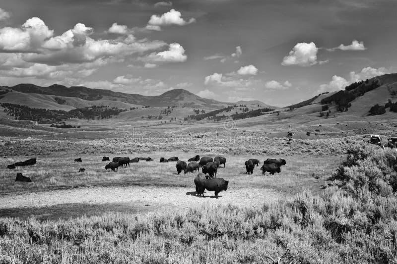 在黄石国家公园的北美野牛 免版税图库摄影
