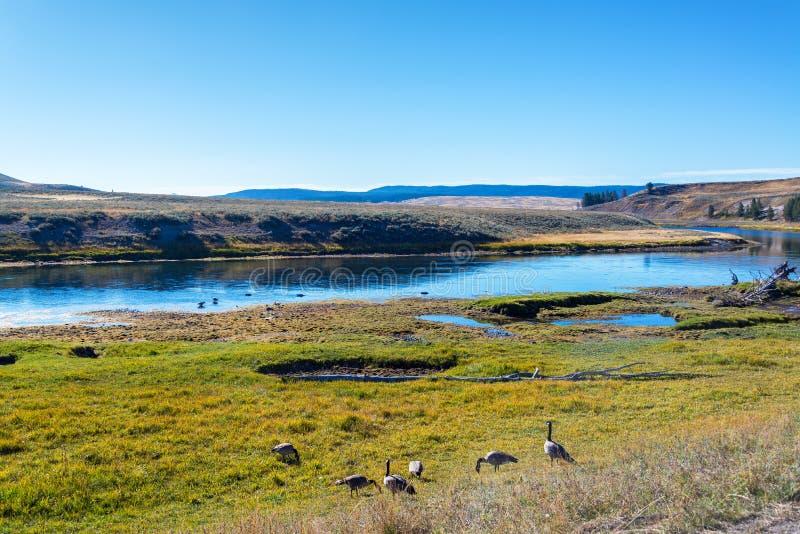 在黄石河岸的鹅  库存照片