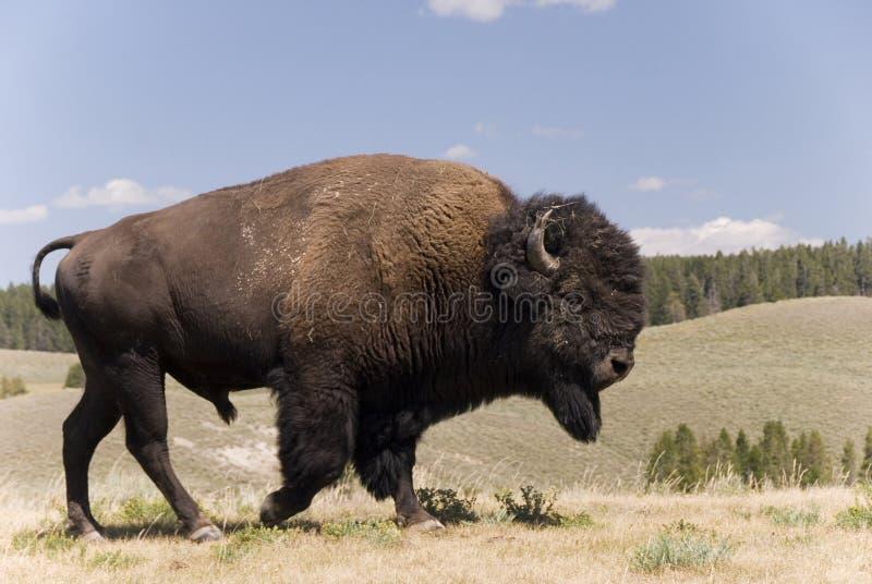在黄石N.P. - 1的了不起的美国水牛城男性 免版税库存照片