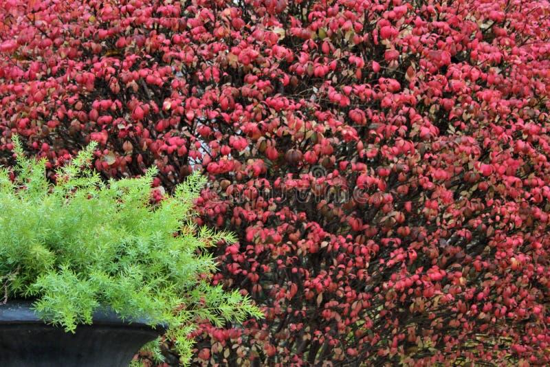 在黑罐的文竹在秋天红色叶子前面 免版税库存照片